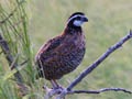 bobwhite button
