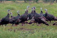 turkeys small